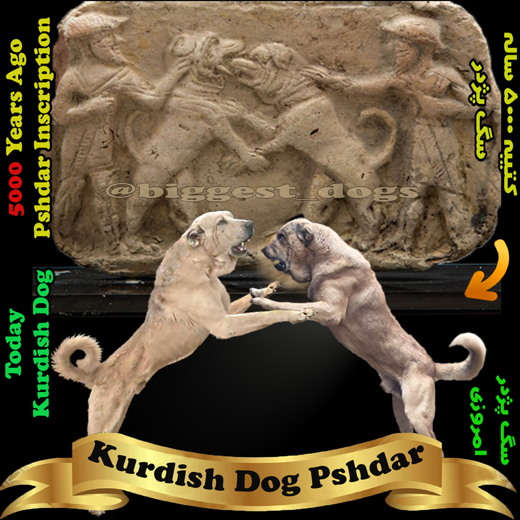 Assyrian Dog-Dog Fight war-Kurdish Dog-Pshdar dog-Mesopotamia Dog Clay Tablets-سگ پژدر-سگ کردی-کتیبه سگ پژدر