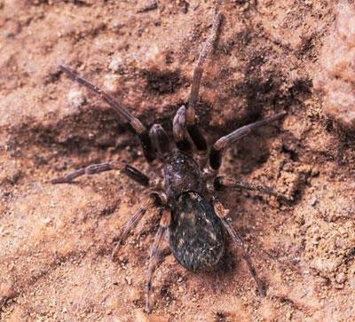 عنکبوت گارفیلد