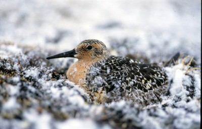 http://www.uplooder.net/img/image/17/dc808d38f803f37ceae57174861c4973/knot-calidris-canutus-canutus-breeding-in-high-arctic-tundra-during-snow-storm-sterlegova-great-arctic-reserve-taimyr-northern-siberia-russia-158b.jpg