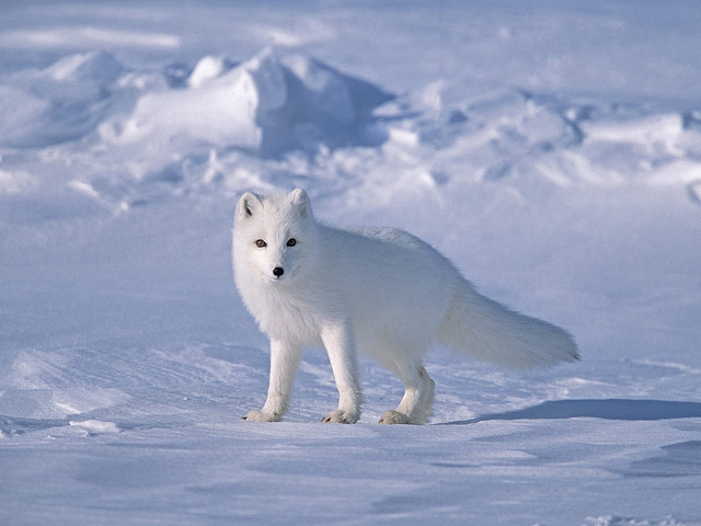 http://www.uplooder.net/img/image/31/0f1d027d2dc5df8ce4ee161ea9a12867/Tundra-biome-Arctic-fox.jpg
