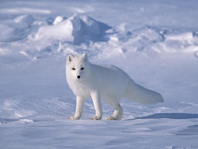 http://www.uplooder.net/img/image/31/0f1d027d2dc5df8ce4ee161ea9a12867/Tundra-biome-Arctic-fox.jpg