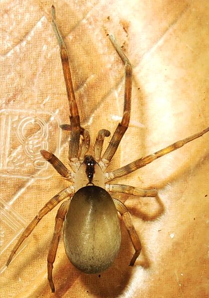 عنکبوت مگوایر، جنس ماده