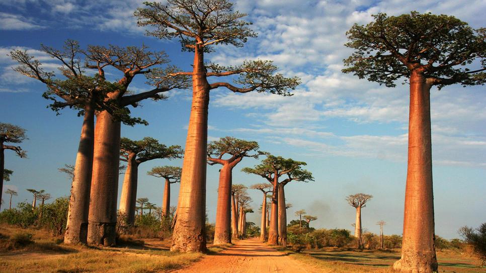 http://www.uplooder.net/img/image/51/92733940c50b0bfce95ae73b234d9774/baobab.jpg