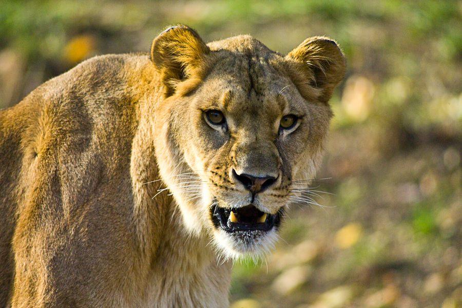 http://www.uplooder.net/img/image/56/bd242979dc73e779125e9922e197ad53/lion2.jpg
