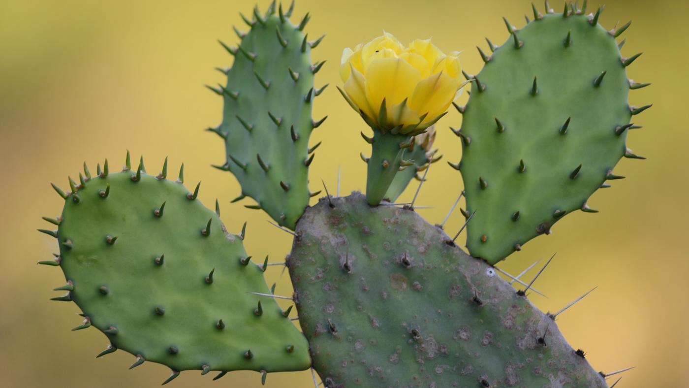 http://www.uplooder.net/img/image/62/41b887075eff0359a8ef452386d92beb/prickly-pear-cactus-adapted-desert-life-5e71b1192fe77247.jpg