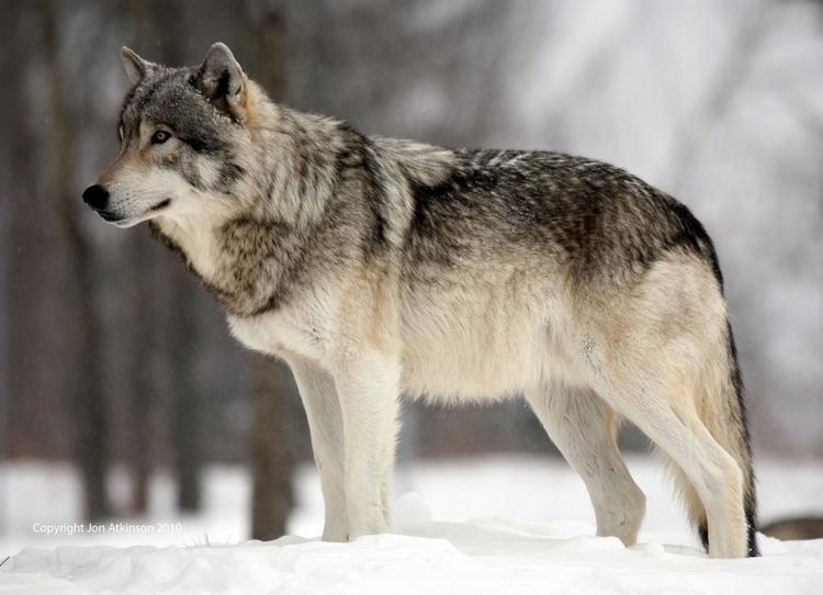 http://www.uplooder.net/img/image/7/4a86cde2f8279fad7647fd59905d6fb7/grey-wolf-3.jpg