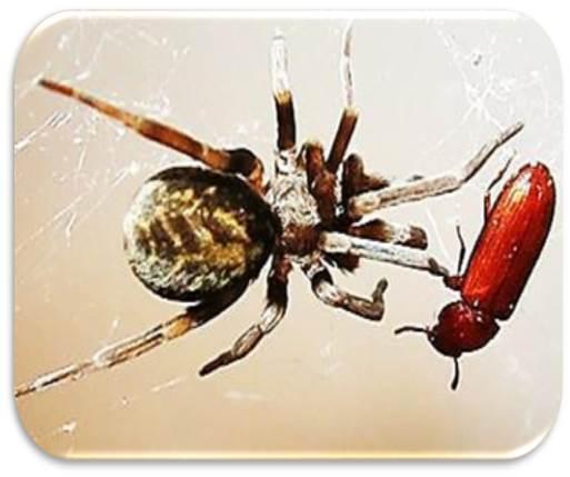 عنکبوت گارفیلد، جنس ماده، در حال شکار نوعی سوسک