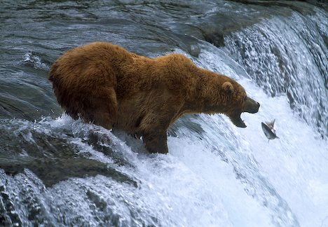 http://www.uplooder.net/img/image/79/a79b97878c2aae4002b9eae7993fe27a/brooks-falls-brown-bear-food-8310.jpg