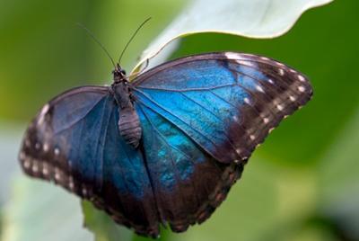 http://www.uplooder.net/img/image/85/c9dfd10eaa41f051b3be21cccd208383/blue-morpho-b_u_t_terfly.jpg