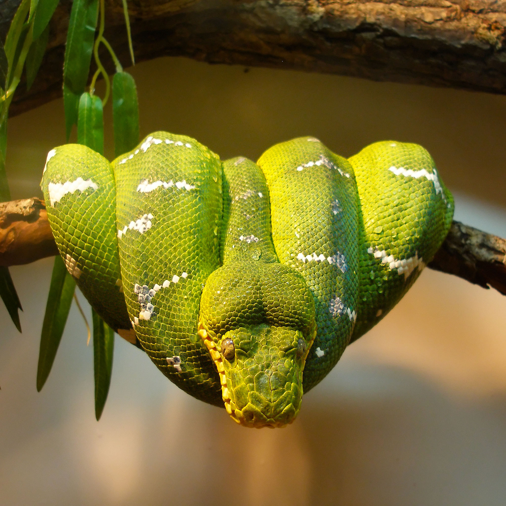 http://www.uplooder.net/img/image/87/ab63b3affb6f2c0656c2b0819712cb5d/green-tree-python-2048-ipod-backgrounds.jpg